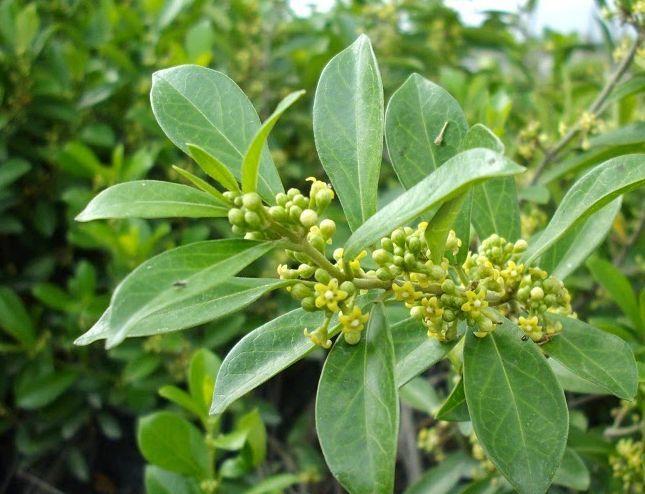 gymnema sylvestre rastlina
