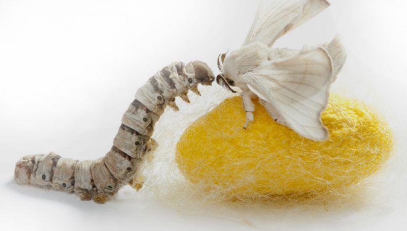 Priadka morušová, jej larva a enzým serapeptáza