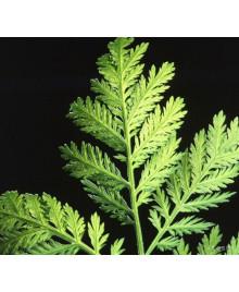 palina ročná artemisinin