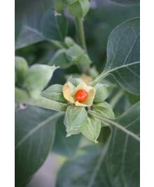 Ashwagandha rastlina