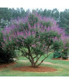 drmek obyčajný strom