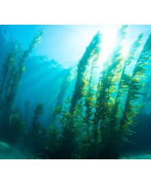 riasa kelp