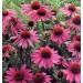 echinacea purpurová kvety